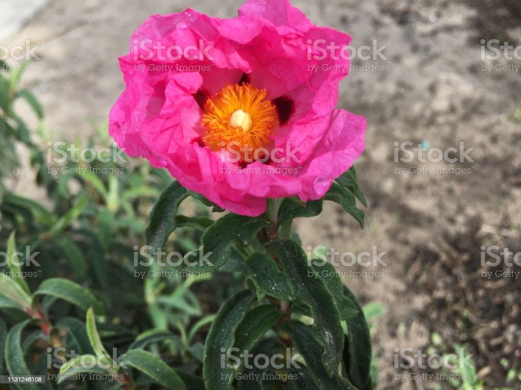Pink beach rose opens