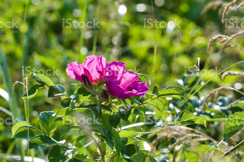 Two hot pink beach roses, Rosa rugosa, against a background of green...