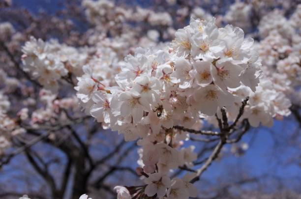 Pink beautiful blooming cherry blossoms, Japanese culture in spring stock photo