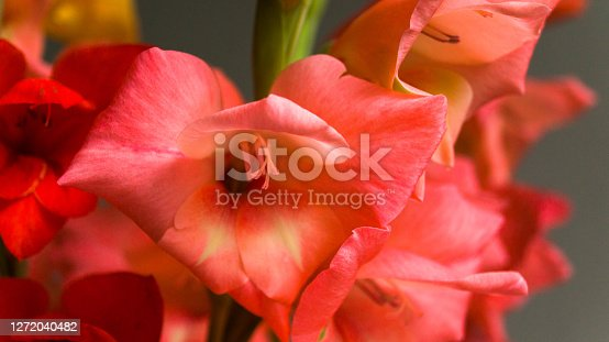 istock Pink beautiful gladiolus on a light background. A flower grown in the garden. Summer bouquet as a gift. 1272040482