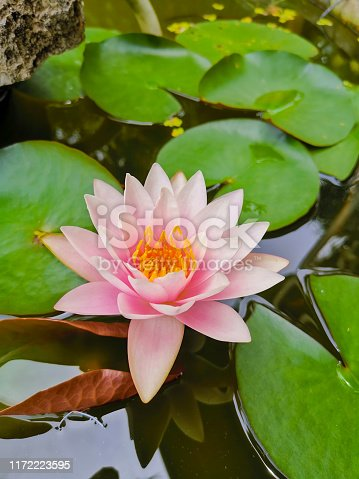 Pink lotus with green lillypad