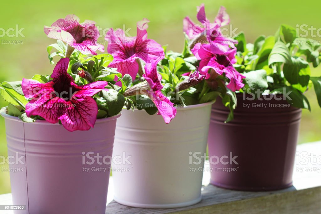 Pink beautiful petunia flower in pot. petunia growing in balcony royalty-free stock photo