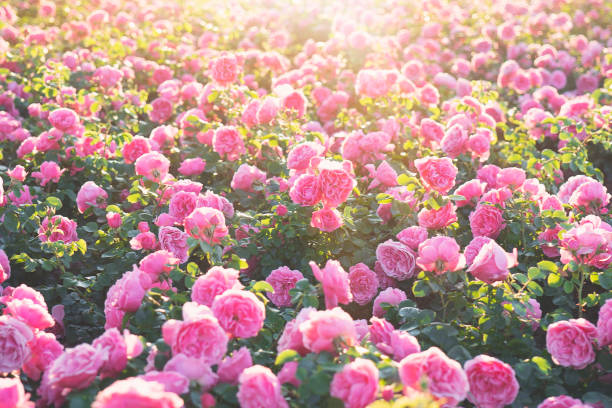 3 035 Romantic Rose Garden Stock Photos Pictures Royalty Free Images Istock