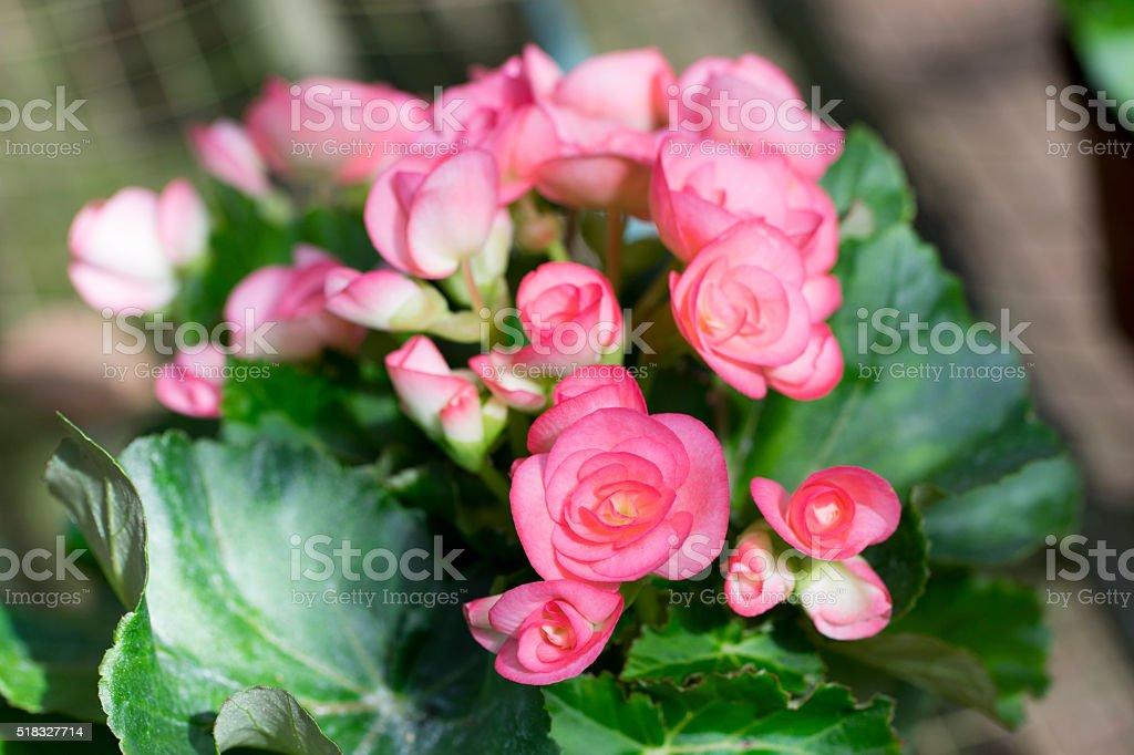 Pink Begonia Flower Closeup stock photo