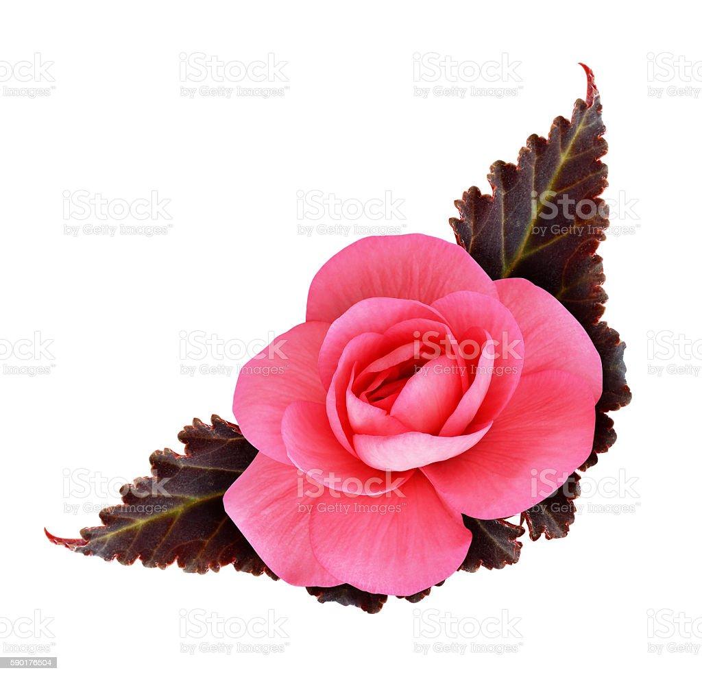 Pink begonia flower stock photo