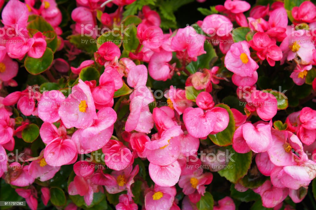 Pink begonia flowers with green leaves stock photo