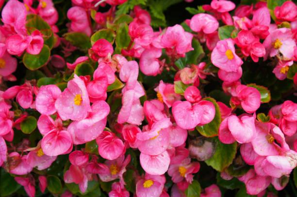 Roze begonia bloemen met groene bladeren foto