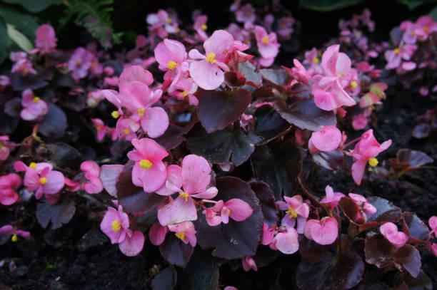 Roze begonia bloemen met groene foto