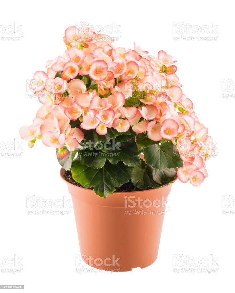 Roze begonia in de bloempot foto