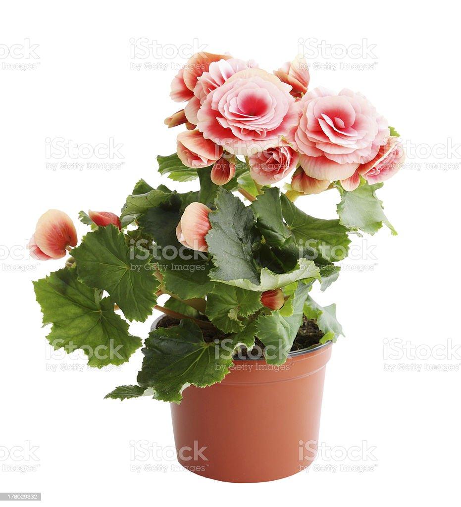 pink begonia stock photo