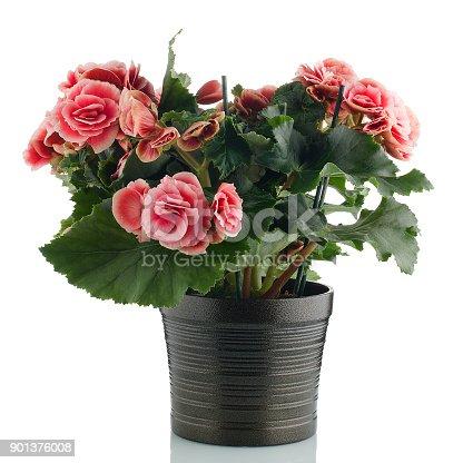istock Pink begonia plant 901376008