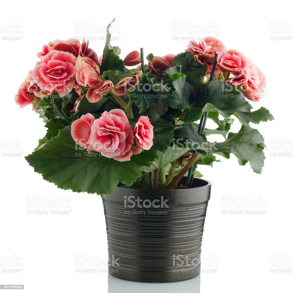 Pink begonia plant stock photo