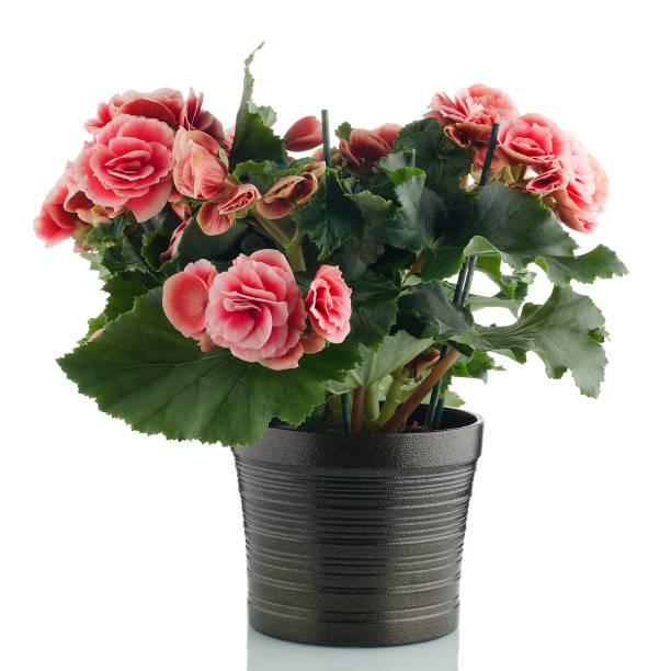 Roze begonia plant foto