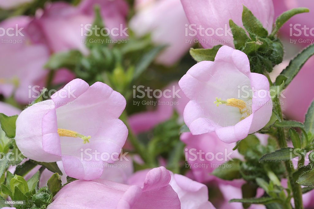 Pink Bellflower royalty-free stock photo
