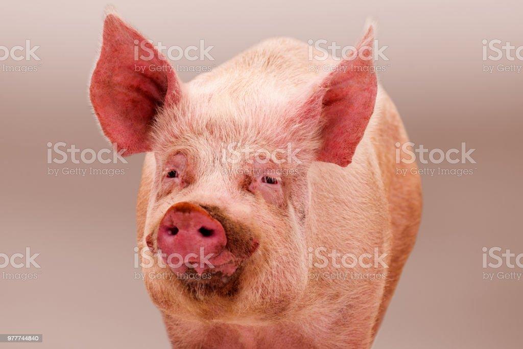 pink big pig stock photo