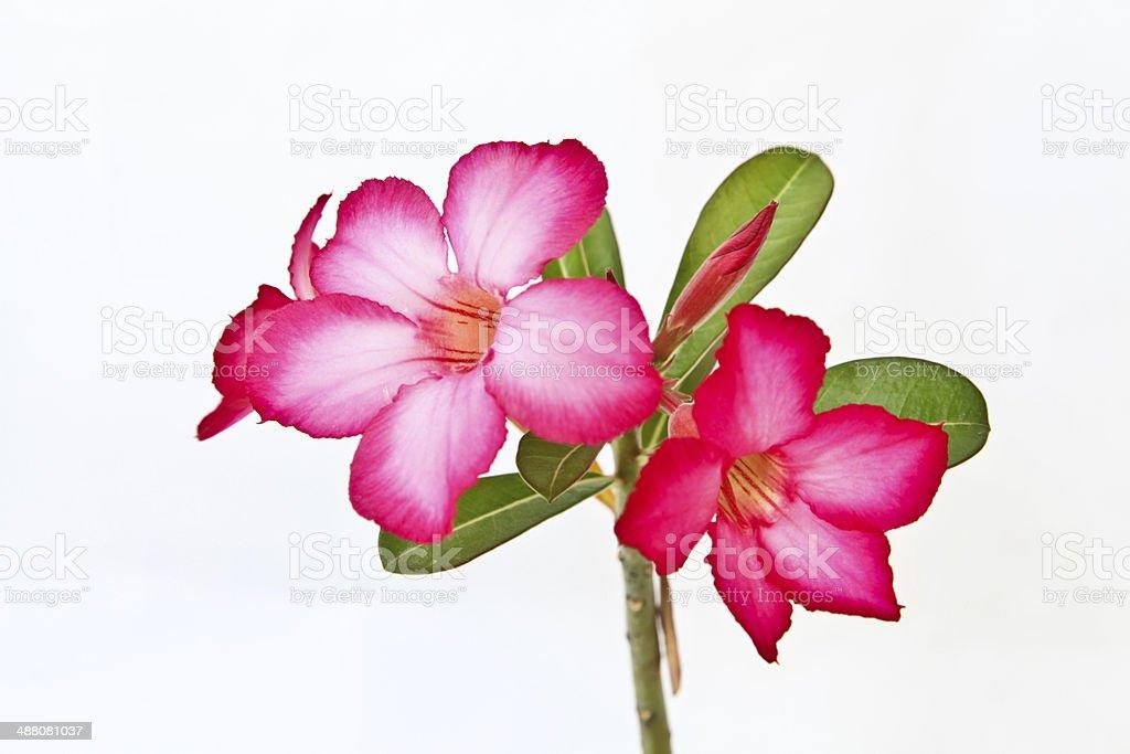 Pink bignonia flowers stock photo
