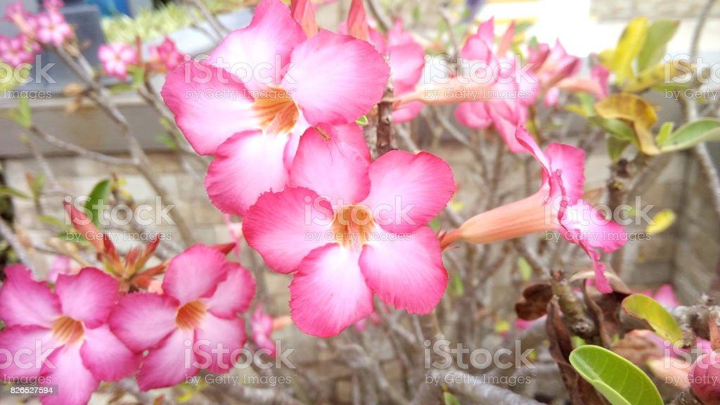 Pink Bignonia stock photo