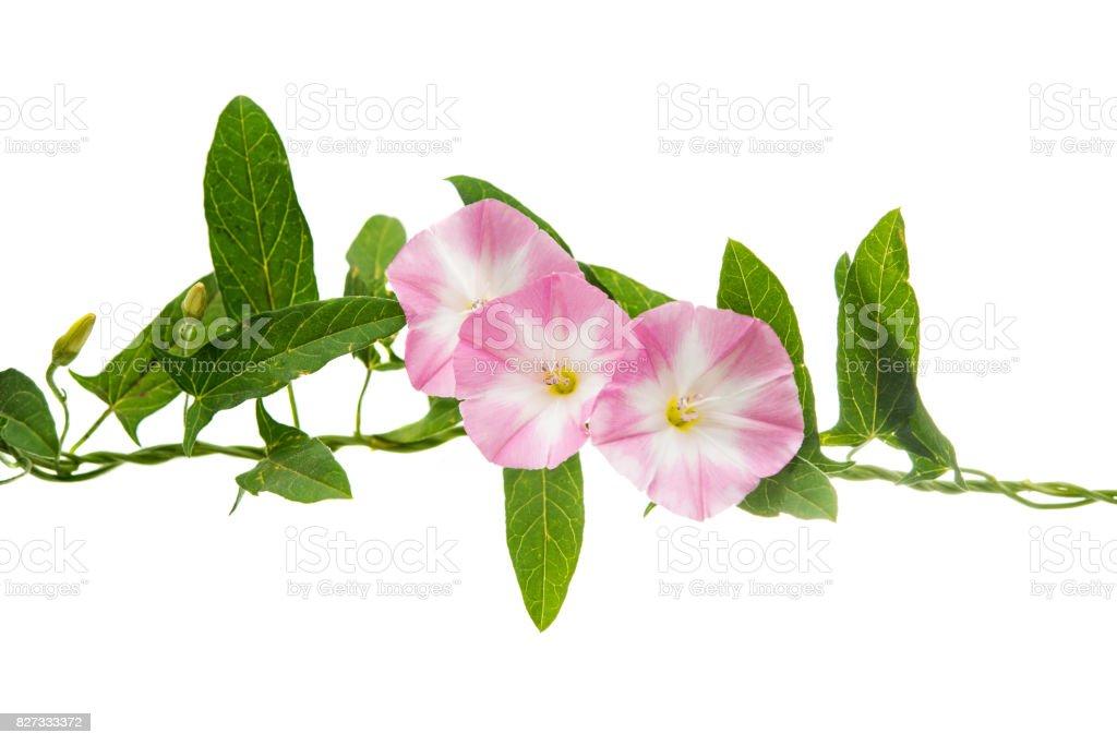 Pink bindweed isolated stock photo