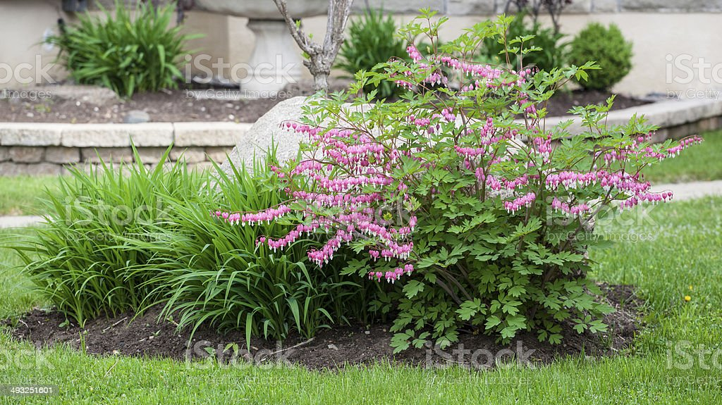 pink bleeding heart stock photo