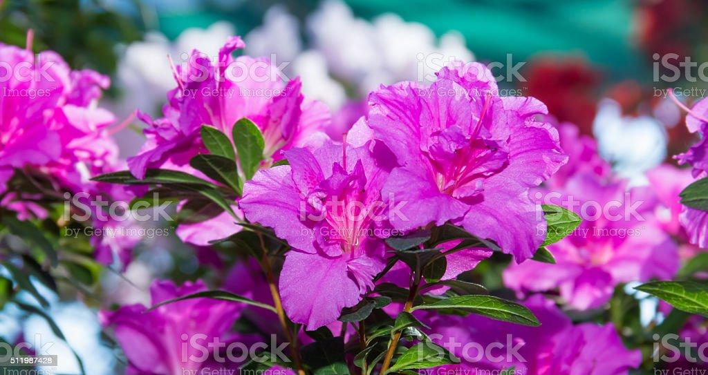 pink blooming azalea bush stock photo