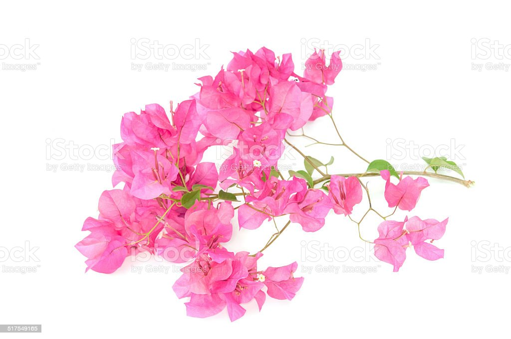 Pink blooming bougainvilleas stock photo
