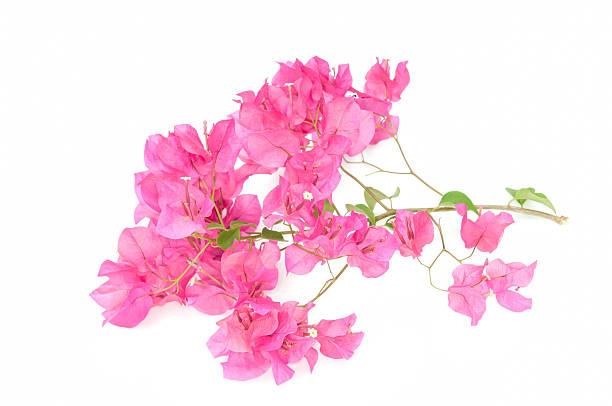Rosa flor abriéndose bougainvilleas - foto de stock