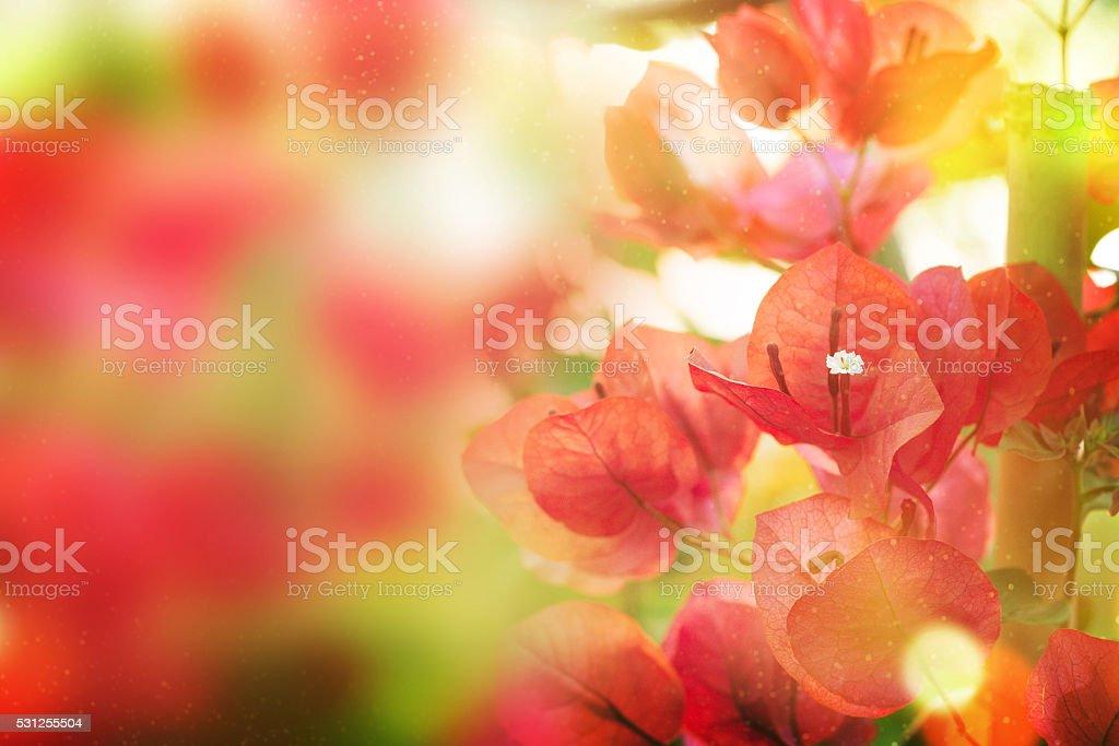 - de-rosa florescendo bougainvilleas - foto de acervo