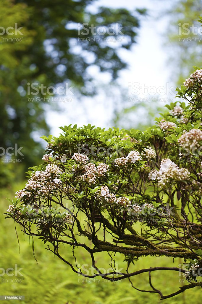 Pink blooming bush royalty-free stock photo
