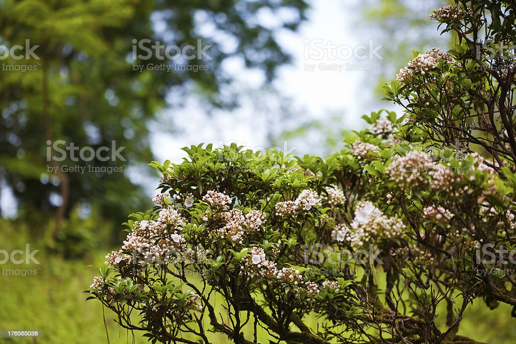 Pink blooming bush royalty-free stock photo