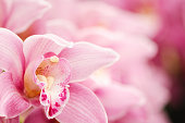 Close-up of a Pink Cymbidium Orchid with copy space.
