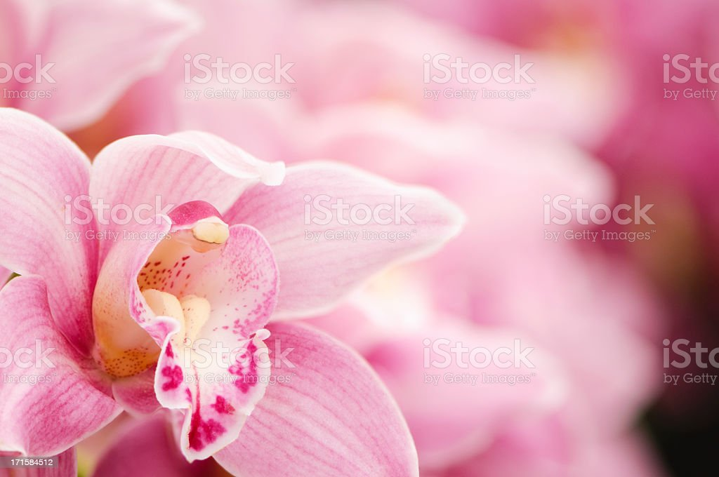 Pink blooming Cymbidium orchids stock photo