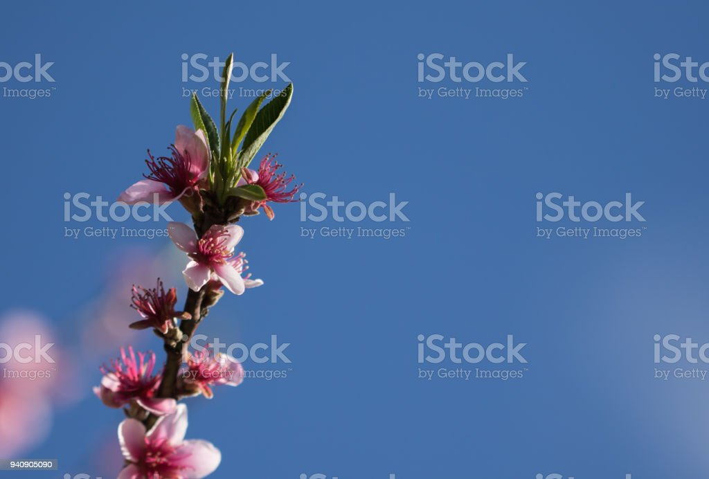 pink blooming flowers of nectarine tree in springtime, graphic design creative background stock photo
