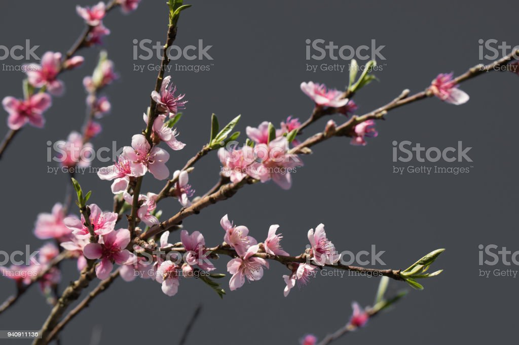 pink blooming flowers of nectarine tree in springtime in selective color, graphic design creative background stock photo