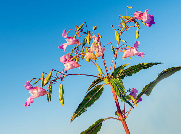 Pink blooming Himalayan Balsam against a blue sky stock photo