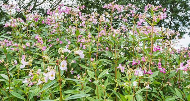 Pink blooming Himalayan Balsam stock photo