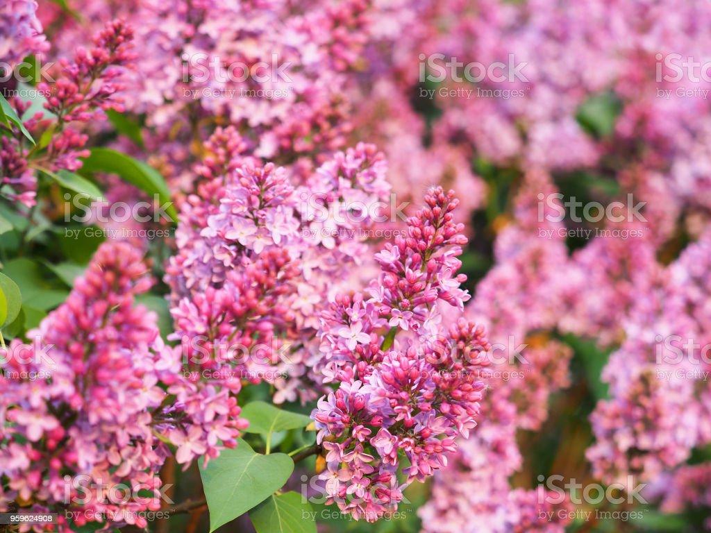 Rosa lila flor ornamental. Syringa flores, floración de las plantas leñosas de la familia oliva Oleaceae. Ligustrum - Foto de stock de Aire libre libre de derechos