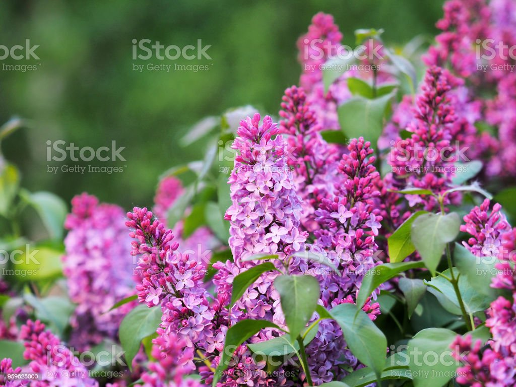 Lila flor ornamental rosa sobre fondo verde. Syringa flores, floración de las plantas leñosas de la familia oliva Oleaceae. Ligustrum - Foto de stock de Abstracto libre de derechos