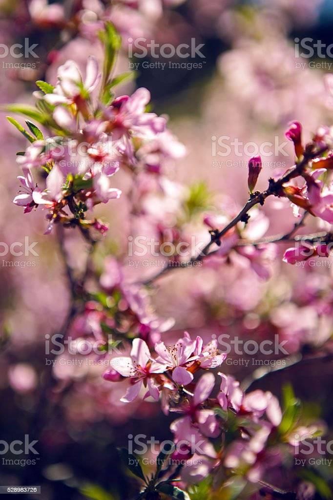 pink blooming ornamental shrub Almonds Low stock photo