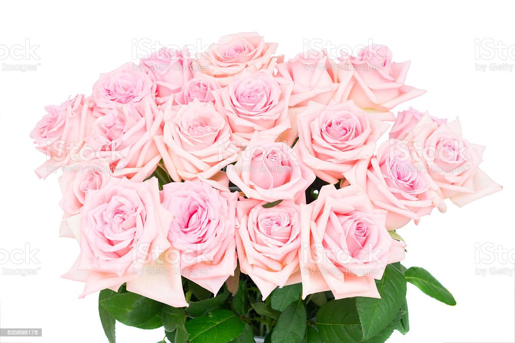 Pink blooming roses royalty-free stock photo