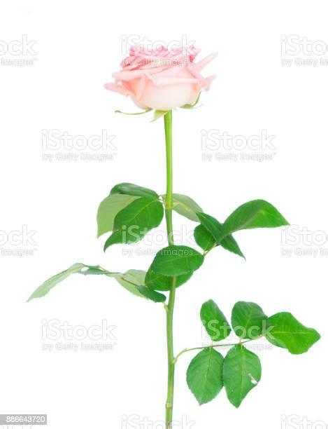 Pink blooming roses picture id886643720?b=1&k=6&m=886643720&s=612x612&h=6vxyokddh2bmj979me5kmkjga3h75ttqarndafsiodm=