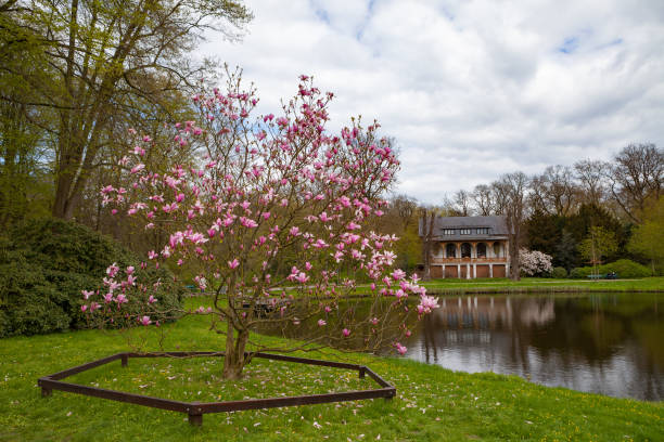 Pink blooming tree on the meadow in the park. Pond and house at the background. Bremen, Germany. stock photo