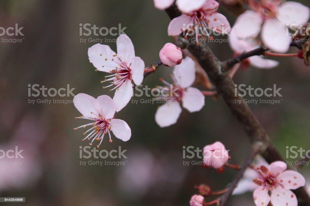 roze bloesem op de prunus Accolade in het voorjaar foto