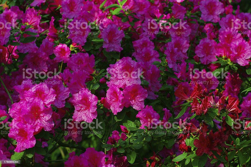 Pink Blossom Close-Up of Azalea Flower. royalty-free stock photo