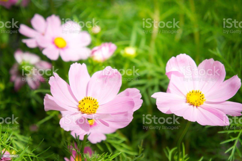 Foto De Floresderosa Flor No Jardim Com Estilo Pastel De