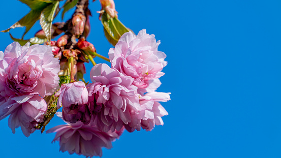 Pink blossom in bloom on a tree against a blue sky