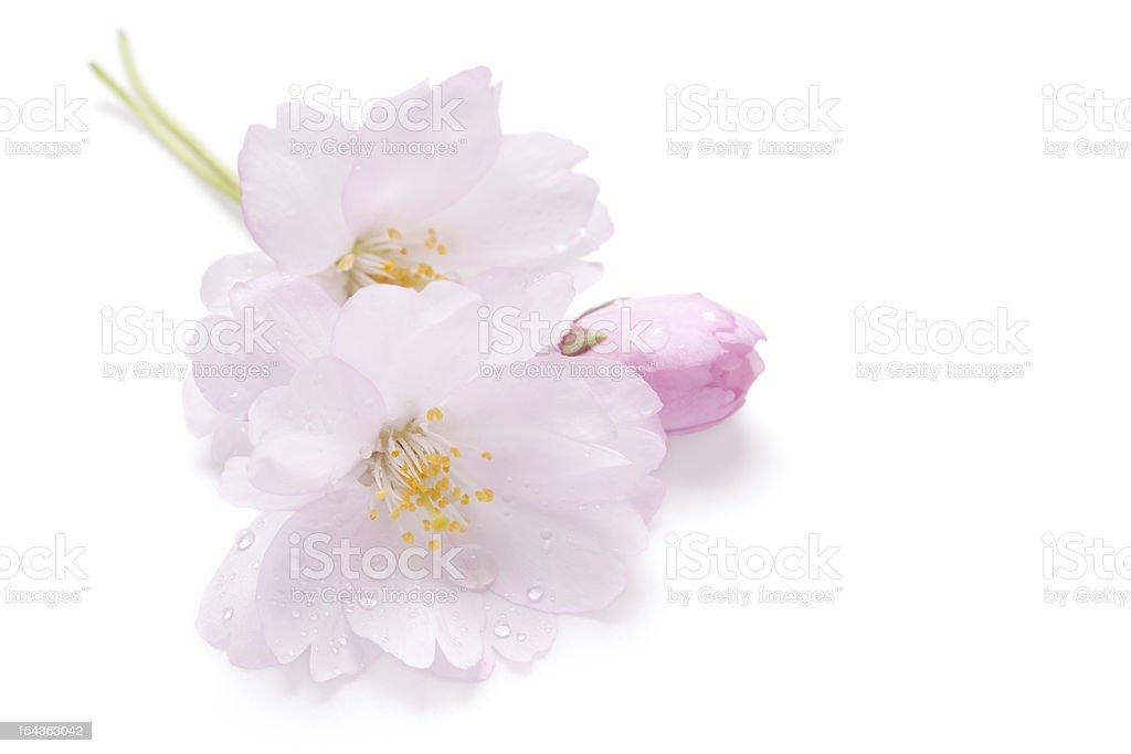 Pink blossom of Japanese cherry (Sakura) royalty-free stock photo