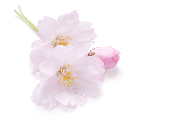 Pink blossom of Japanese cherry (Sakura) stock photo