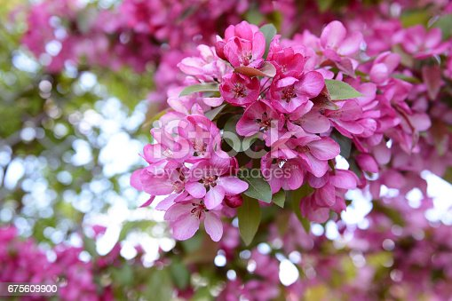 Bold pink blossom on branch of malus crab apple tree in spring