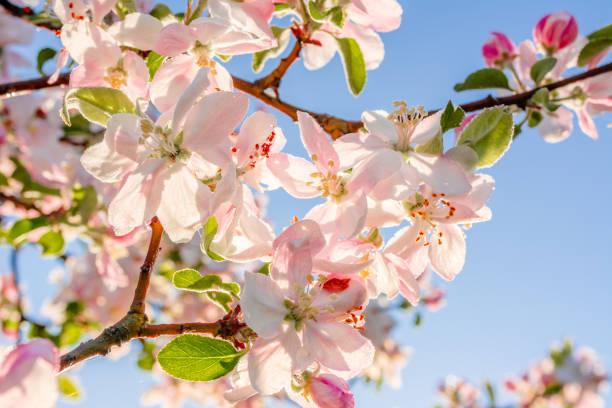 fleur rose sur fond de ciel, branche floraison de printemps du pommier - paysage mois de mars photos et images de collection
