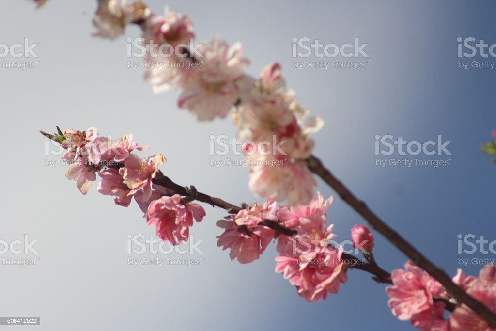 pink blossom stock photo